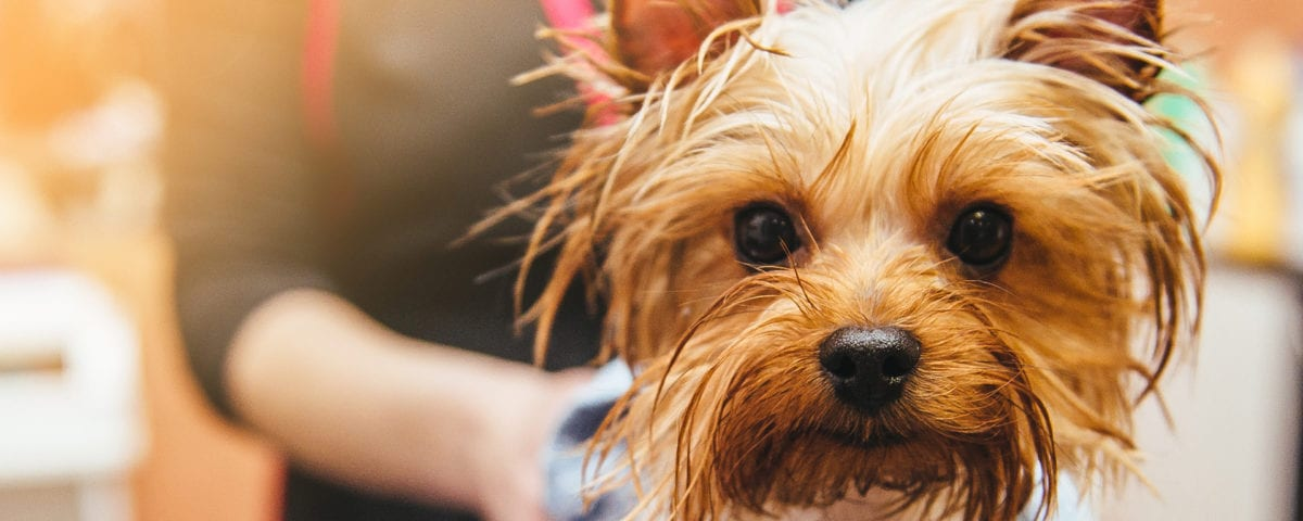 Yorkie getting a bath and dog grooming at Leader of the Pack Canine Institute