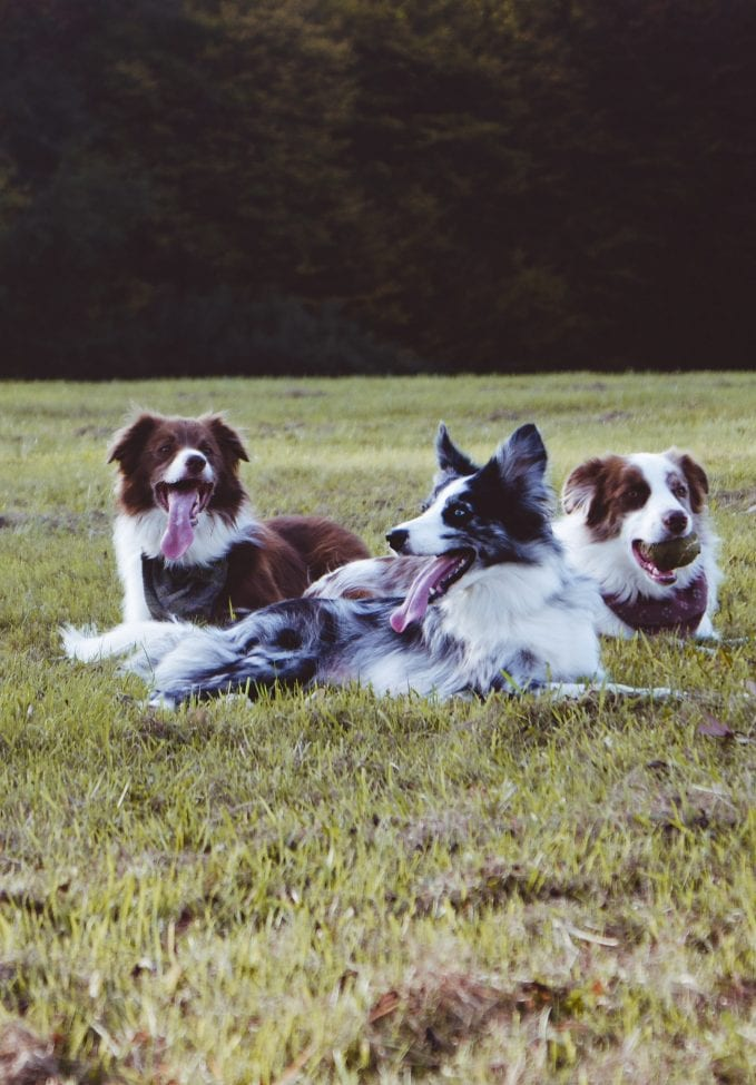 Three Dogs Laying Near Each Other
